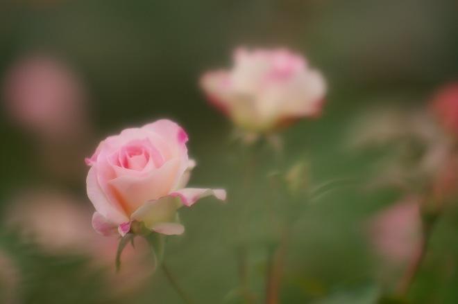 03バラ.jpg