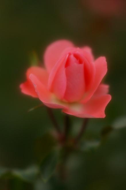 12バラ.jpg